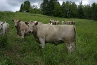 grass fed registered Murray Grey cattle on our farm