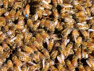 honey bees with the queen in one of my colonies.