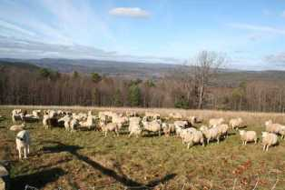 Edgefield Sheep